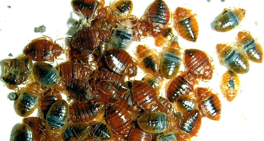 Bed Bugs, and what you need to know